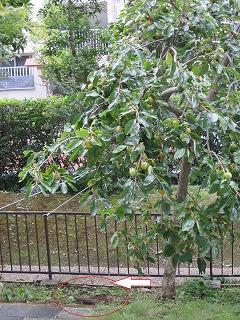 柿の木、脱走を試みる