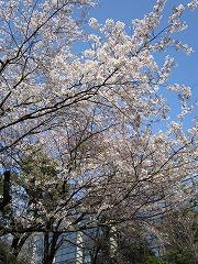 春日部市立図書館の桜