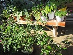 ベランダ栽培中。