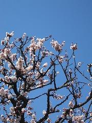 春日部の梅
