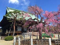 護国寺のしだれ桜