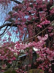ここのしだれ桜は有名らしい