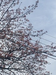 三郷の桜 2015/03/28