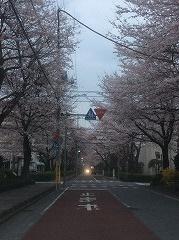 三郷の桜もすごいのよ