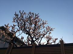 3月9日の梅
