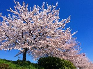 騒がずとも、桜はそこここにあります